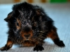 Virvlig marsvinsbebis i black & tan! (Bebis 2)