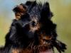 Virvlig marsvinsbebis i black & tan! (Bebis 1)