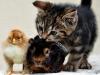 Brahma, marsvin & katt...
