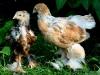 Guld svartbandad Brahmatupp & spättad Brahmahöna (kycklingar)