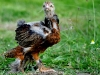 Guld svartbandad Brahmatupp (kyckling)