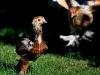 Guld svartbandad Brahmatupp & spättad Brahm höna (kycklingar)