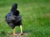 Plymouth Rock kyckling - höna