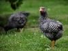 Plymouth Rock kyckling - tupp