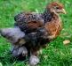 Guld blåbandad Brahmatupp - kyckling