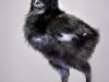 MESdvärg svart silverbröstad