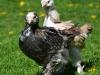 Faverollekycklingar; tupp & höna