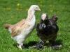 Faverollekycklingar; höna & tupp