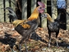 MESdvärg blå orangebröstad & svart orangebröstad