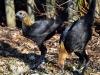 MESdvärg svart orangebröstad