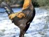 MESdvärg blå orangebröstad