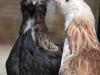 Faverolle   - hön- & tuppkyckling