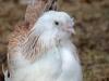 Faverolle   - hönkyckling