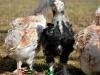 Faverolle   - tupp- & tuppkycklingar