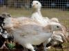 Faverolle   - hönkycklingar