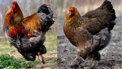 En av papporna och mammorna till kycklingarna!