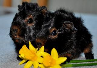 Virvliga marsvinsbebisar i black & tan!