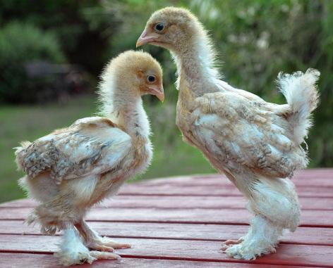 Spättade kycklingar -  tupp & höna