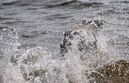 Braque Francais i vatten!
