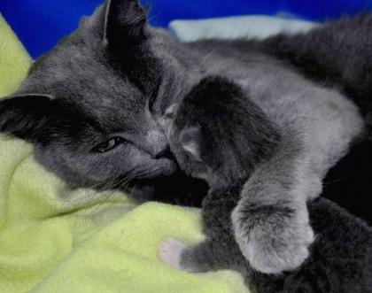 Katten men sin unge 10 dagar gammal
