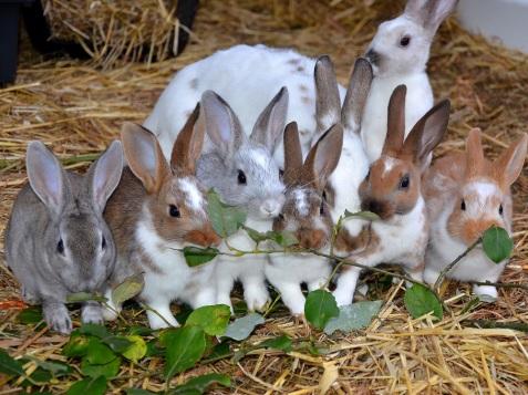 De 7 små kaninerna med sin pappa Vixen