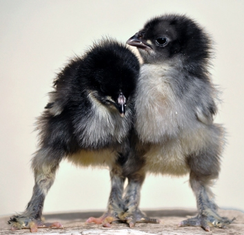 Bredakycklingar