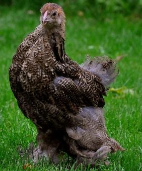 Guld svartbandad hönkyckling.