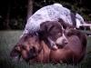 Valp brottas med dvärghund