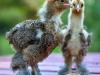 Guld svartbandade hönkycklingar.