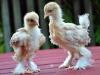 Spättade kycklingar - tupp & höna.