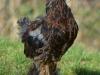 Guld svartbandad tuppkyckling   - Brahma