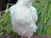 Gammal Svensk Vit Leghorn (kyckling)