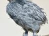 Breda - blå kyckling