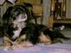 Alexander 1979-1996 Tibetansk Spaniel