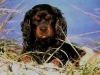 Hugo 1989-1998 Cav King Charles Spaniel