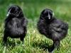 MESdvärg kyckling   svart guldbröstad