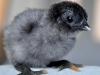 MESdvärg kyckling blå guldbröstad