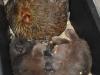 Katten som fick sin kattunge Magi tillsammans med en ruvhöna