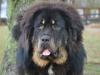 Tibetansk Mastiff tillhörande Krister Olander Lindblom