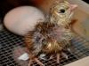Krister Olander Lindbloms kyckling - Araucana