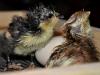 Krister Olander Lindbloms kycklingar - Araucana