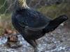 MESdvärg   svart guldbröstad höna