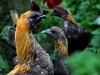 MESdvärg - blå- och svart guldbröstad