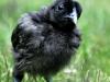 MESdvärg kyckling - svart guldbröstad