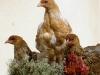 Guld blåbandad, spättad & guld svartbandad hönkyckling.
