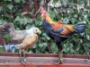 MESdvärg silverhalsad med orange rygg & guldhalsad