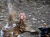 Jojo - attackerande fågelhund...