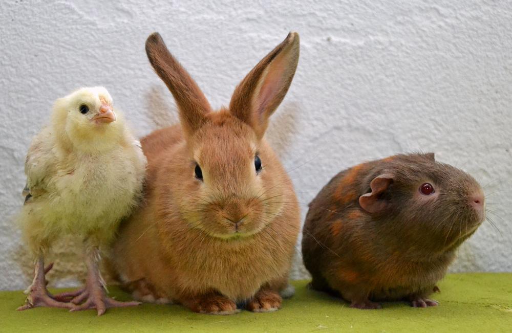 kanin og marsvin