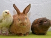 Kanin, marsvin & Faverolle