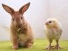 Kanin & Faverolle